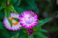 Rosa sugrörblomma Royaltyfria Bilder
