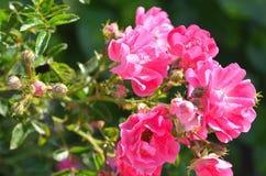 Rosa rosa sui fiori rosa delle rose del fondo immagine stock libera da diritti