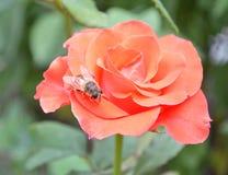 Rosa rosa sui fiori rosa delle rose del fondo nave immagine stock libera da diritti