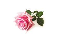 Rosa sui precedenti bianchi Fotografia Stock