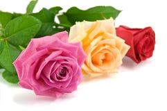 Rosa sul bianco Fotografia Stock