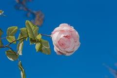 Rosa sul cielo blu Immagini Stock