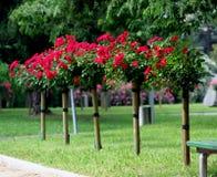 Rosa sul gambo Fotografia Stock