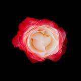 Rosa sul nero Fotografia Stock