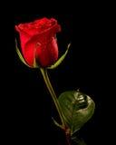 Rosa sul nero Fotografie Stock