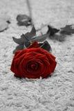 Rosa sul pavimento Fotografia Stock