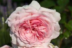 Rosa rosa sul ramo nel giardino dopo pioggia Fotografia Stock Libera da Diritti
