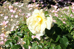 Rosa 'Sunshine Daydream'. A grandiflora rose with glossy foliage and light yellow flowers in large clusters, flowering most of the year, highly disease Royalty Free Stock Image