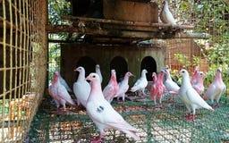 Rosa sveglio di Filippine degli animali bianchi delle colombe degli uccelli Fotografie Stock Libere da Diritti