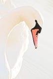 rosa swan Arkivfoton