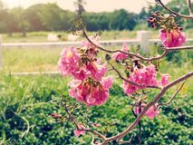 Rosa Tabebuia träd Arkivbild