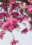 Rosa Tabebuia trädfilialer som fylldes med den ryschiga klockan, formade trumpetblommor, Tabebuia Rosea, Bignoniaceae, Royaltyfria Foton