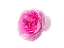 Rosa te steg Royaltyfri Fotografi