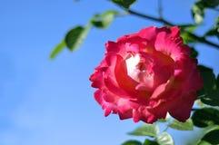 Rosa te steg på en bakgrund av blå himmel Arkivbild