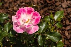 Rosa tea steg Fotografering för Bildbyråer