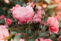 Rosa Tee der Büsche stieg in einen Weinlesefilmeffekt mit dem Tonen stockfotos