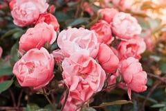 Rosa Tee der Büsche stieg in einen Weinlesefilmeffekt mit dem Tonen stockbild