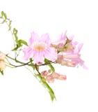 Rosa tekoma Blumen Lizenzfreie Stockfotos