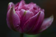 Rosa Terry Up Pink Tulip makro Royaltyfri Fotografi