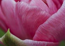 Rosa Terry Up Pink Tulip makro Fotografering för Bildbyråer