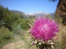 rosa thistle för blomma Arkivfoton