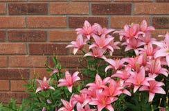 Rosa Tiger Lilies Arkivfoto