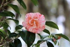 Rosa tinto in giardino Fotografia Stock Libera da Diritti