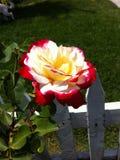Rosa, tom dois com cerca branca Imagens de Stock Royalty Free