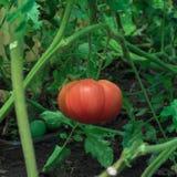 Rosa Tomate im Gewächshaus Stockfotos