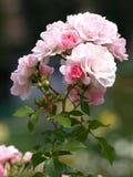 Rosa träd Arkivbilder