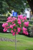 Rosa träd Royaltyfria Bilder