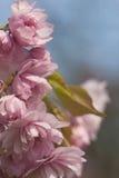Rosa träd för körsbärsröd blomning Fotografering för Bildbyråer