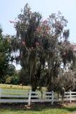 Rosa träd för kräppmyrten som täckas i spansk mossa Royaltyfria Bilder