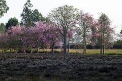 Rosa träd i vår Arkivbild