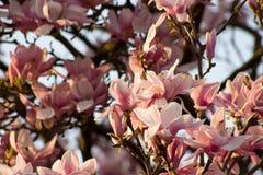 Rosa trädblomma som på våren blommar arkivfoto