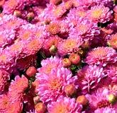 Rosa trädgårds- mums Arkivfoton