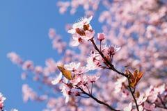 Rosa trädslut för körsbärsröd blomning upp med blå himmel Arkivbilder