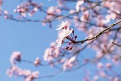 Rosa trädslut för körsbärsröd blomning upp med blå himmel Arkivfoto