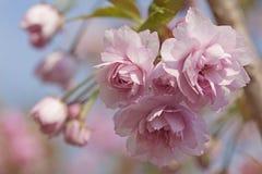 Rosa träd för körsbärsröd blomning Royaltyfri Bild