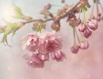 Rosa träd för körsbärsröd blomning Royaltyfria Bilder