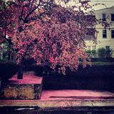 rosa tree för blomma Arkivfoton