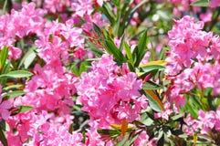rosa tree för oleander Royaltyfri Fotografi