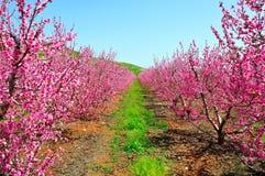 rosa trees för nektarin arkivbild