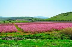 rosa trees för nektarin royaltyfria bilder