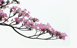 rosa treetrumpet Royaltyfria Bilder