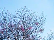 rosa treetrumpet Arkivfoton