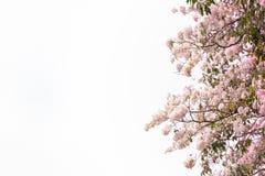 rosa treetrumpet Blommor är att blomma som är härligt arkivfoton