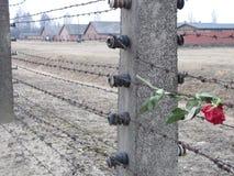 Rosa triste a Auschwitz fotografie stock libere da diritti
