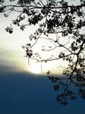 Rosa Trompeten-Baum im Schattenbild bei Sonnenuntergang Lizenzfreie Stockfotografie