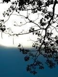 Rosa Trompeten-Baum im Schattenbild bei Sonnenuntergang Lizenzfreie Stockfotos